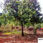 Segundo relatos dos moradores, a estação ficava bem aonde está esta árvore.